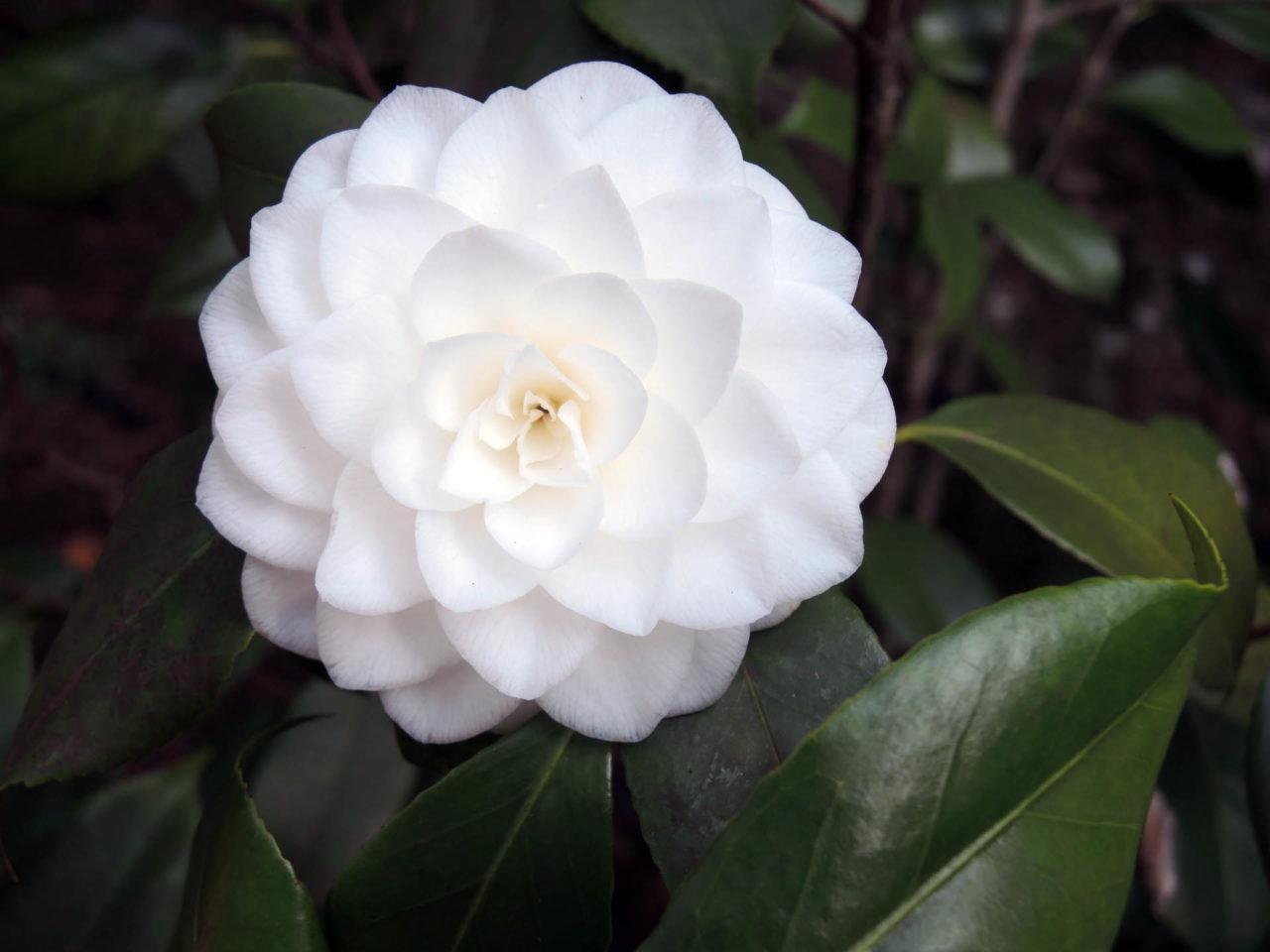 Camellia japonica 'Vergine di Collebeato'