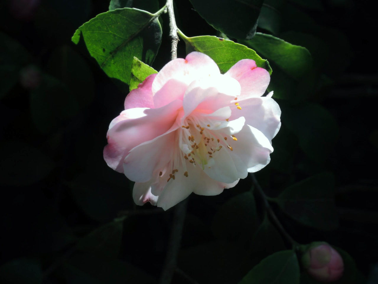 Camellia x maliflora