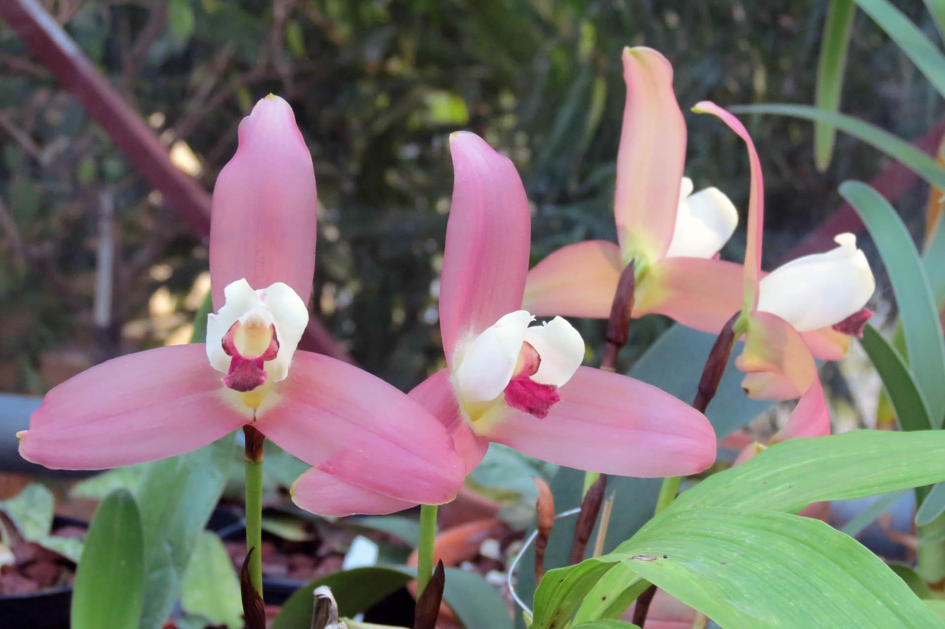 Lycaste × lucianiana
