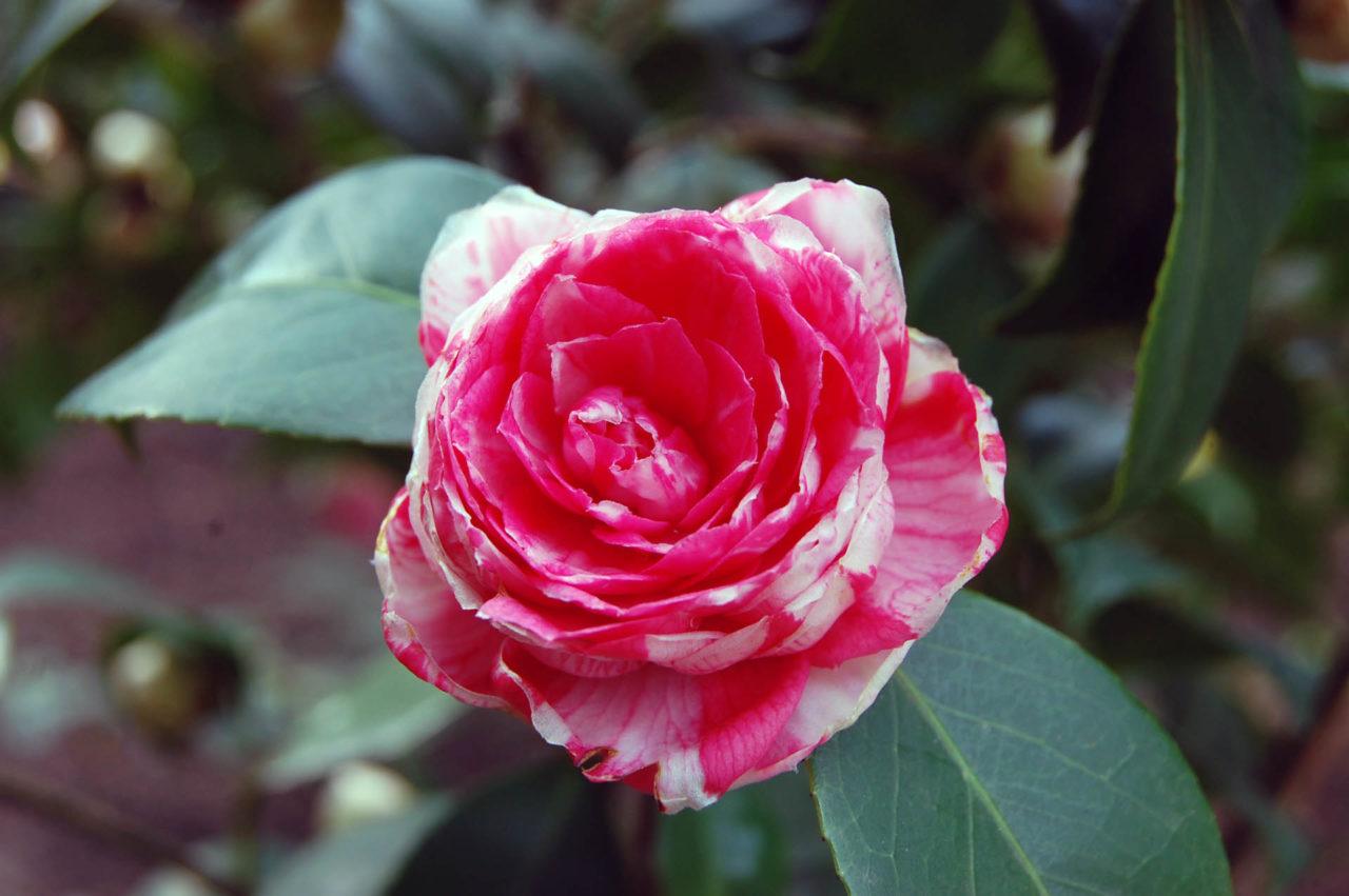 Camellia japonica 'Marie Antoinette'